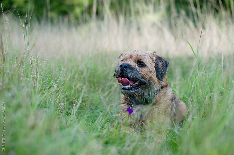 Border Terrier sitting in long grass by CHRISTINA K for Stocksy United