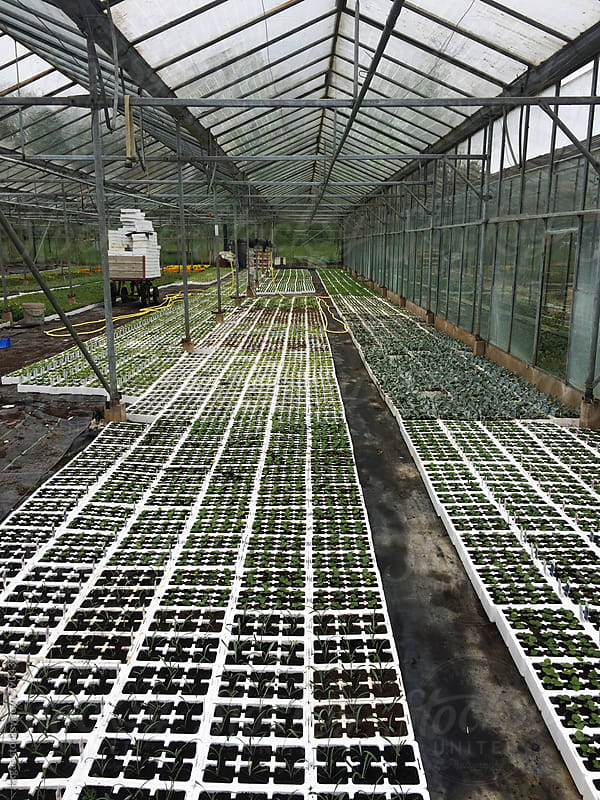 Young plants being cultivated in a greenhouse by kkgas for Stocksy United