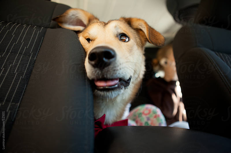 Dog in the Car Backseat by Lumina for Stocksy United