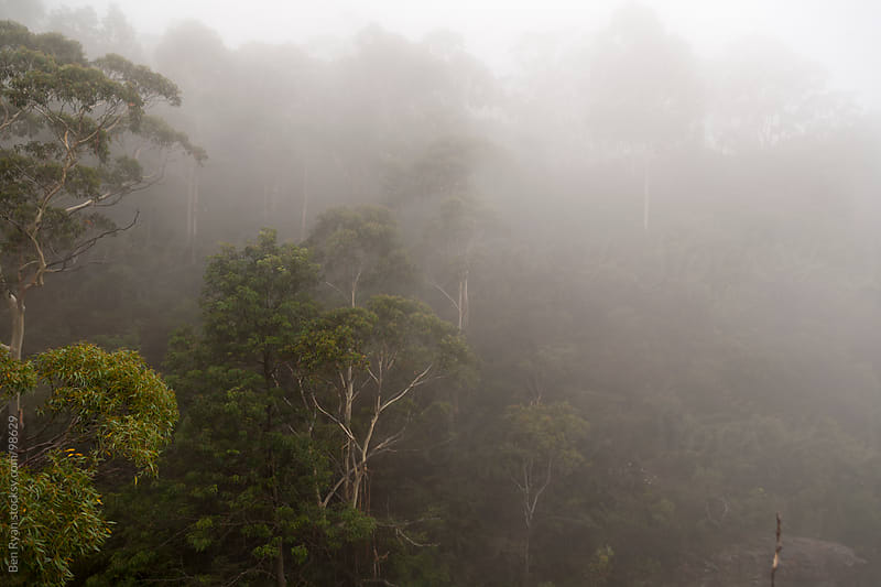 Eucalyptus trees looming through fog in the Blue Mountains, Aust by Ben Ryan for Stocksy United