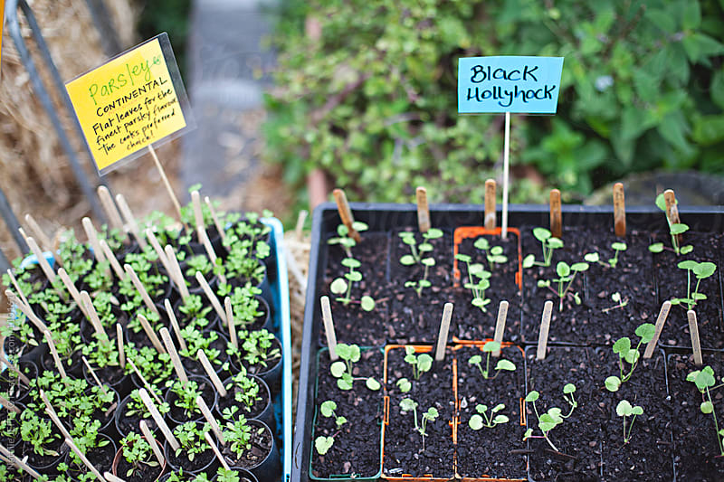 Black Hollyhock and parsley seedlings ready to plant in the garden by Natalie JEFFCOTT for Stocksy United