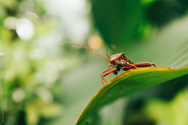 Indonesian Leaf Footed Bug by Nemanja Glumac for Stocksy United