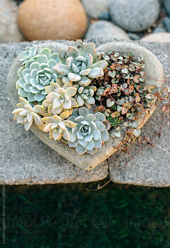 Heart shaped planted filled with succulents by Carolyn Lagattuta for Stocksy United