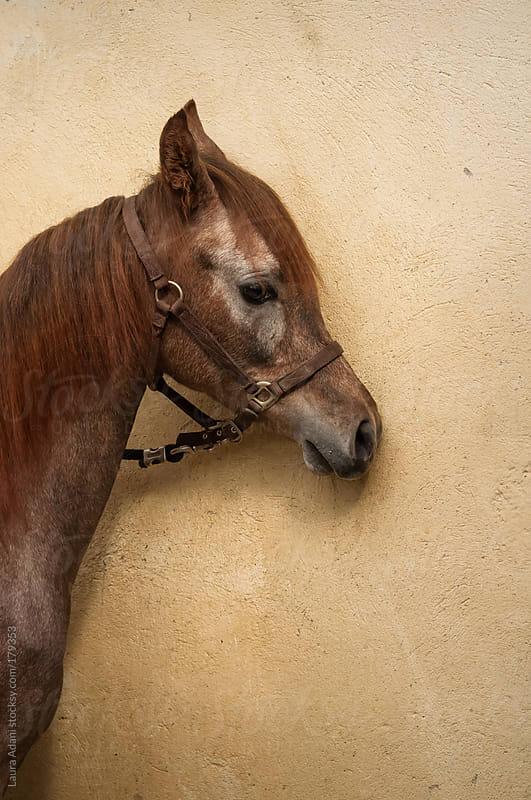 baby arabian horse portrait by Laura Adani for Stocksy United