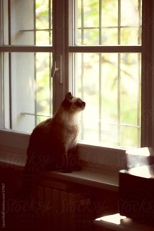 Cat looking out of the window in sunset light in living room by Laura Stolfi for Stocksy United