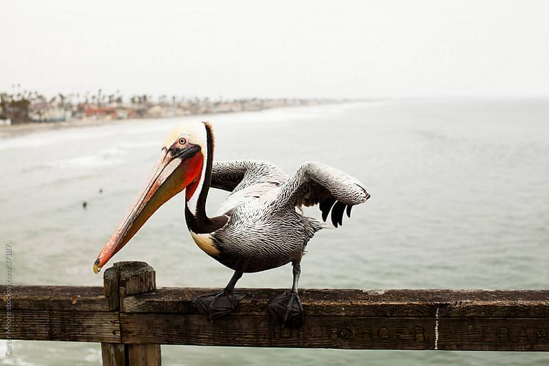 Oceanside Pelican by Carter Moore for Stocksy United
