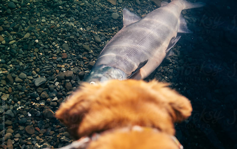Golden Retriever Looks at a Sockeye Salmon in the Water by Willie Dalton for Stocksy United