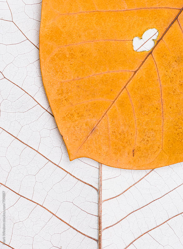 Pair of magnolia leaves in Autumn, closeup by Mark Windom for Stocksy United