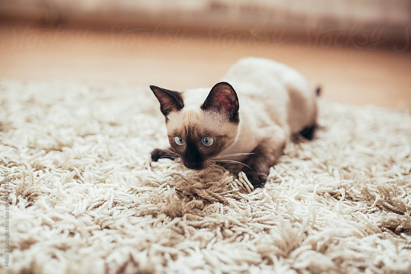 Beautiful siamese kitten indoors by Maja Topcagic for Stocksy United