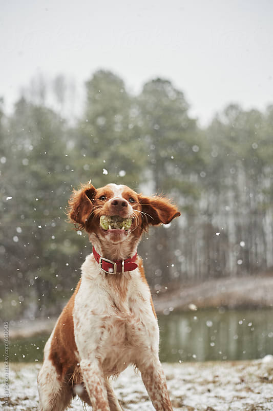 Brittany Spaniel playing in freshly fallen snow by Alicja Colon for Stocksy United