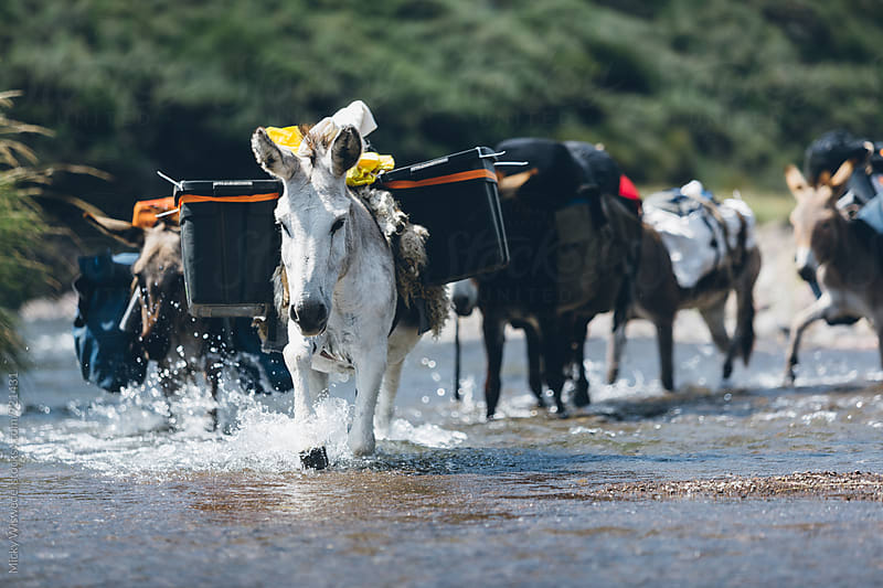 pack donkeys crossing a river carrying camp gear by Micky Wiswedel for Stocksy United