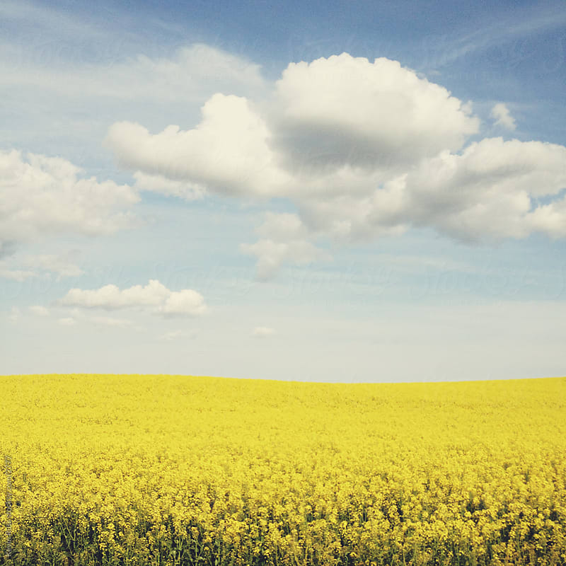 Rapeseed Field by Kevin Russ for Stocksy United