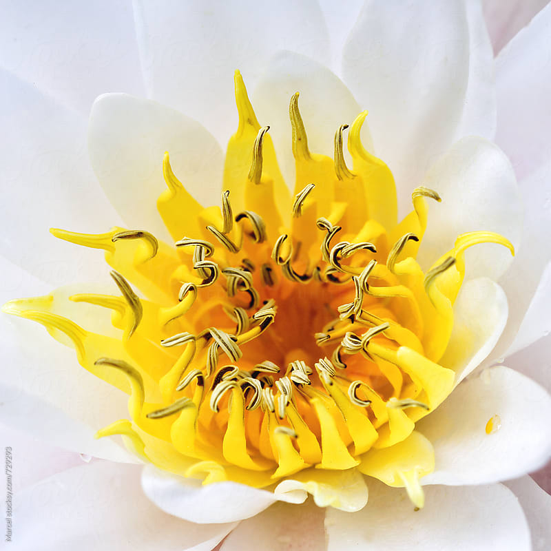 Beautiful white water lily detail by Marcel for Stocksy United
