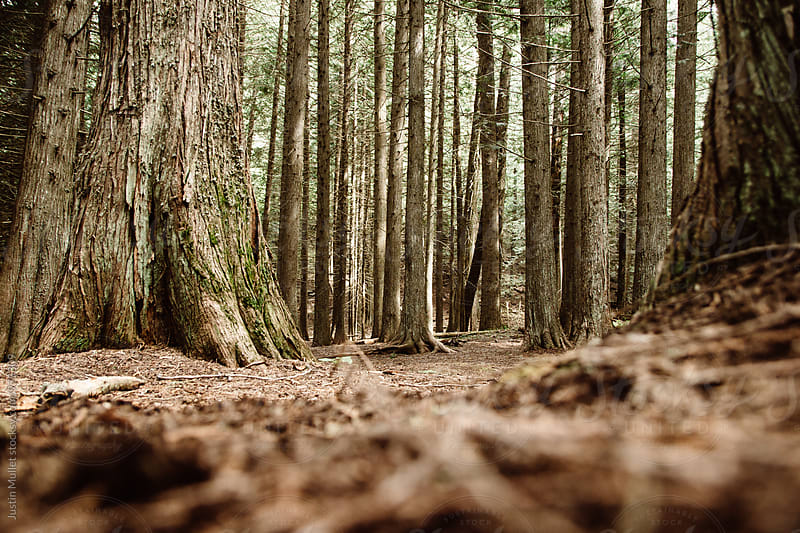 Low angle perspective of cedar forest.  by Justin Mullet for Stocksy United