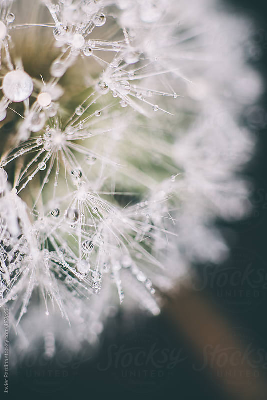 Dandelion after the  rain by Javier Pardina for Stocksy United