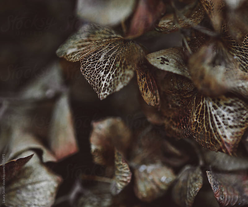 Gloomy close up of withered Hydrangea flowers by Laura Stolfi for Stocksy United