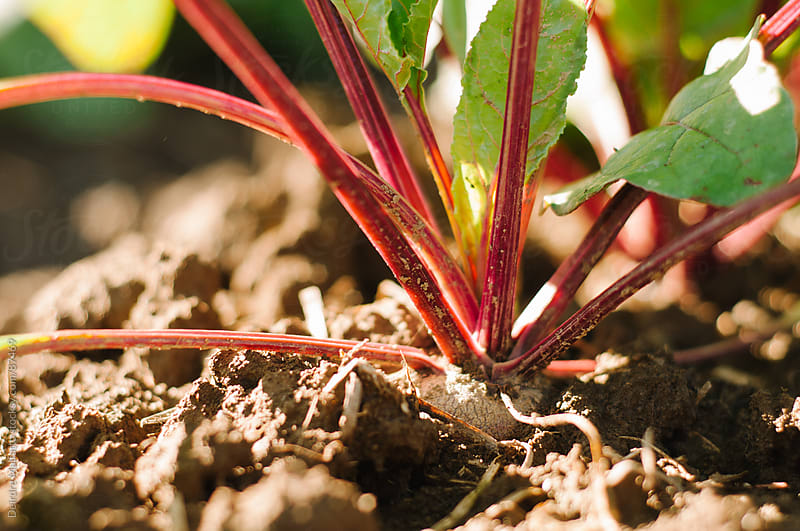 close up of beet root and plant, growing by Deirdre Malfatto for Stocksy United