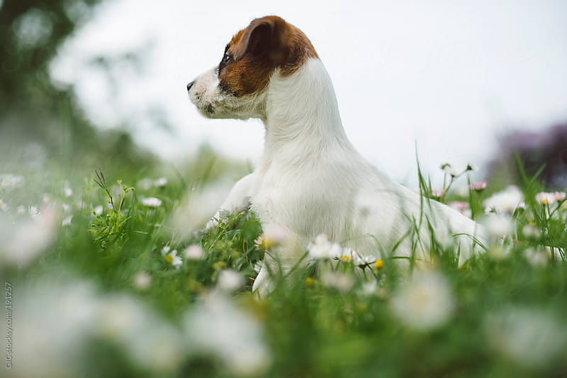Jack Russell puppy portrait in the green grass during spring by GIC for Stocksy United