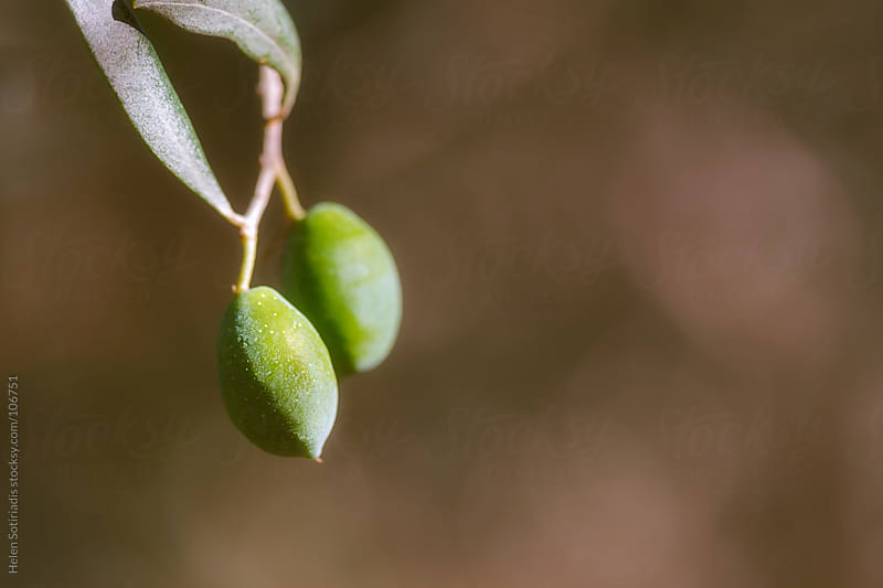 Olives on a Tree by Helen Sotiriadis for Stocksy United