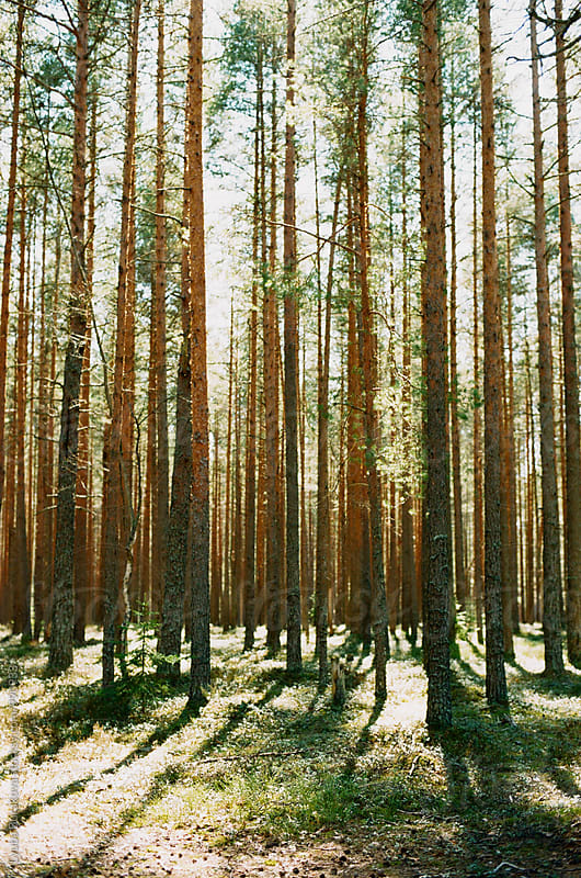 Pine forest by Lyuba Burakova for Stocksy United