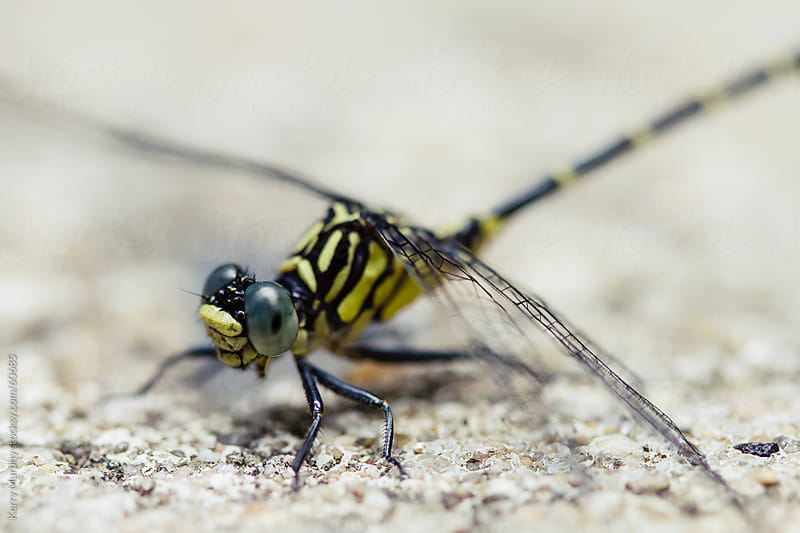 Macro of yellow and black dragonfly by Kerry Murphy for Stocksy United