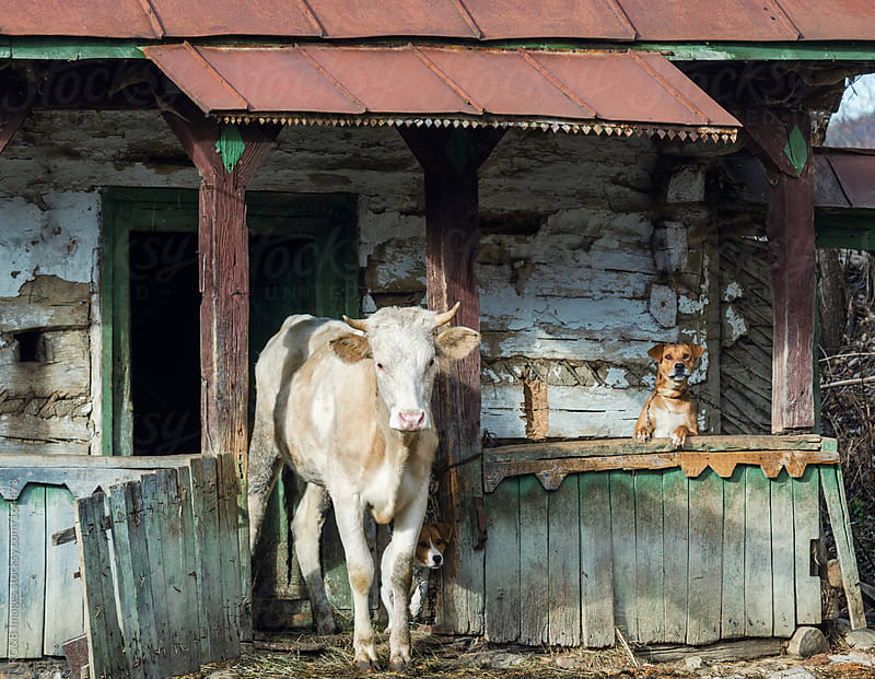 the cow is in the house  by RG&B Images for Stocksy United