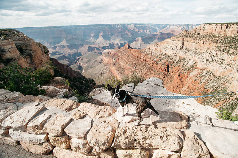 Bruce the Boston Terrier at the Grand Canyon by Shannon Aston for Stocksy United