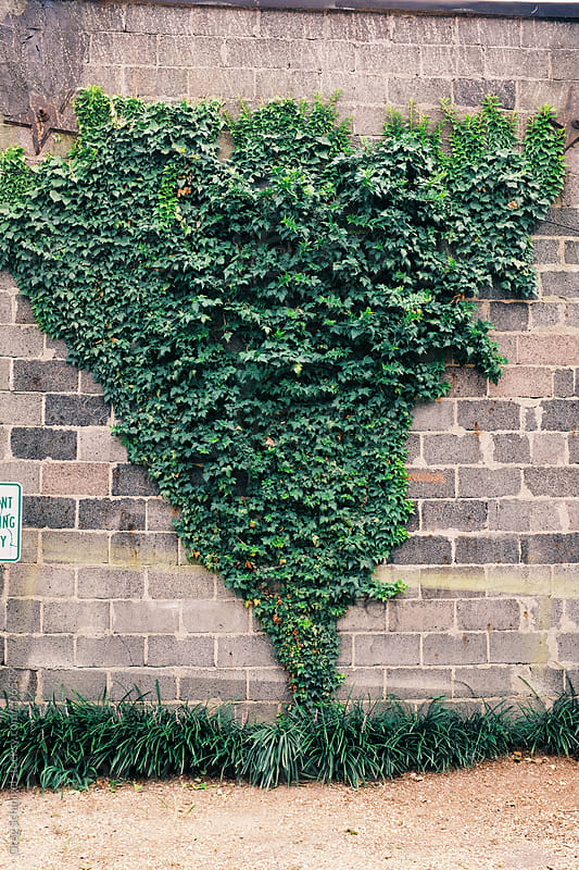 Green ivy growing on the side of a gray brick wall by Greg Schmigel for Stocksy United
