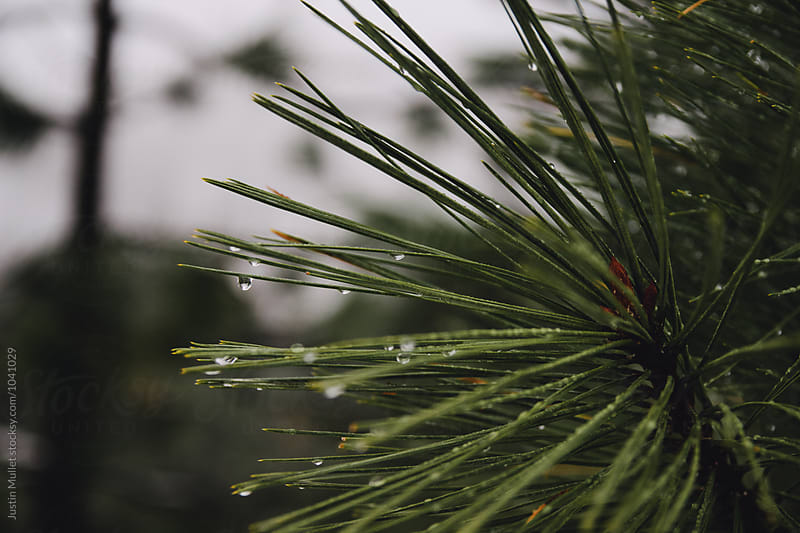 Waterdrops on Ponderosa tree branch by Justin Mullet for Stocksy United