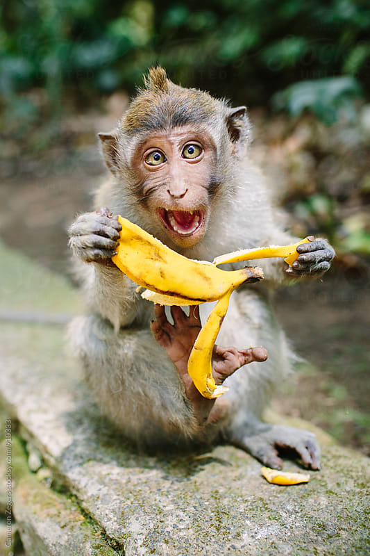Expressive Monkey Eating Banana by Cameron Zegers for Stocksy United