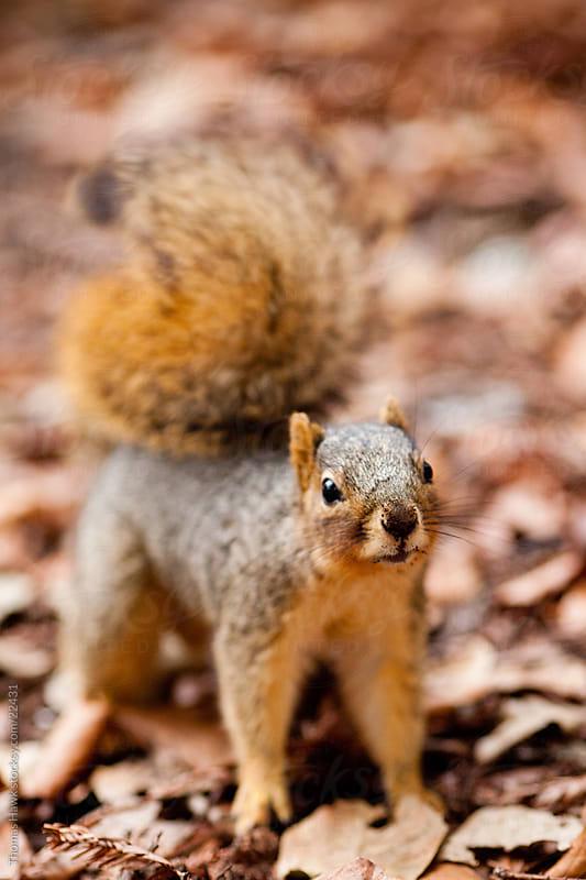 Squirrel by Thomas Hawk for Stocksy United