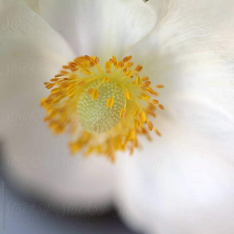 Close Up Of The Center Of A White Anemone Flower by ALICIA BOCK for Stocksy United