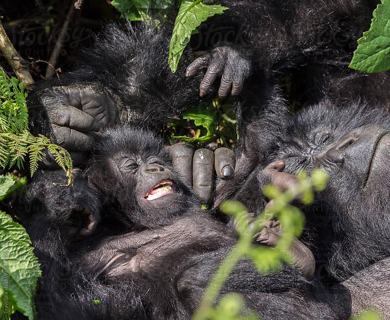 Baby Mountain Gorilla. Rwanda by Travelpix for Stocksy United