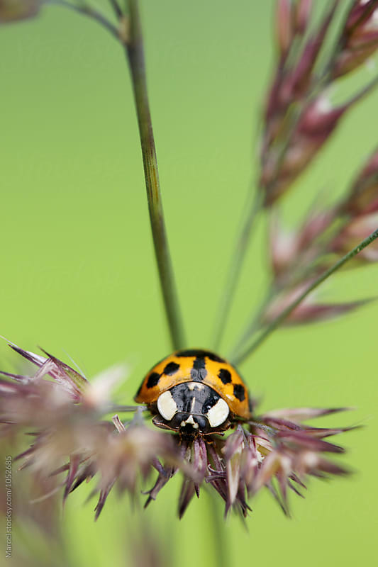 Ladybug on grass stalk by Marcel for Stocksy United