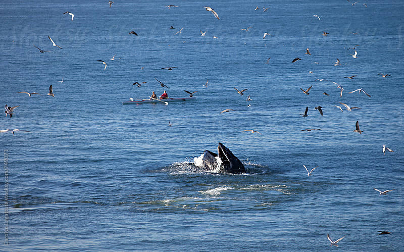 Humpback whale feeding on anchovies while some kayakers nearby watch by Carolyn Lagattuta for Stocksy United