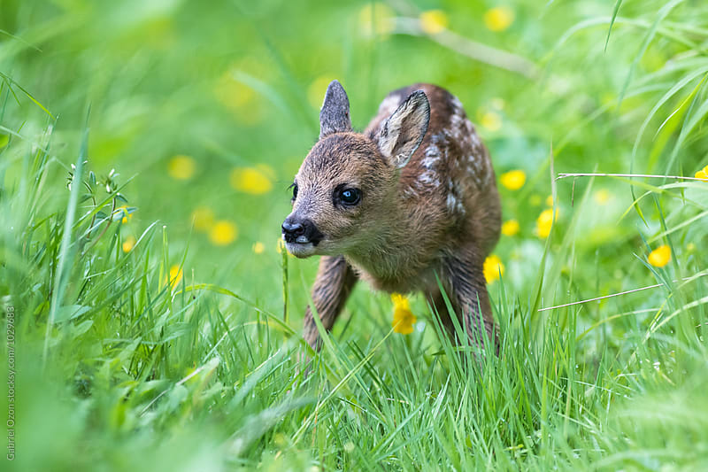 Roe deer fawn by Gabriel Ozon for Stocksy United