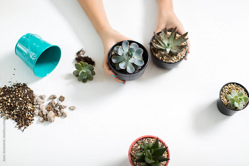 Aerial view of hands transplanting succulents on a white background  by Jovo Jovanovic for Stocksy United