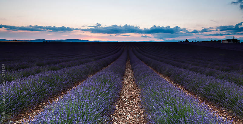 Lavender field at sunset by Marilar Irastorza for Stocksy United
