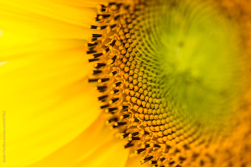 close portrait of a sunflower by Javier Pardina for Stocksy United