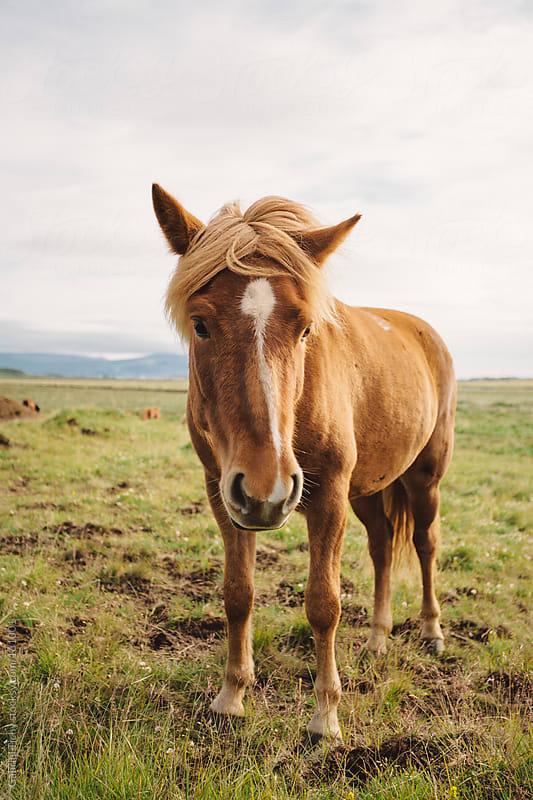Icelandic horse by Gabriel Tichy for Stocksy United