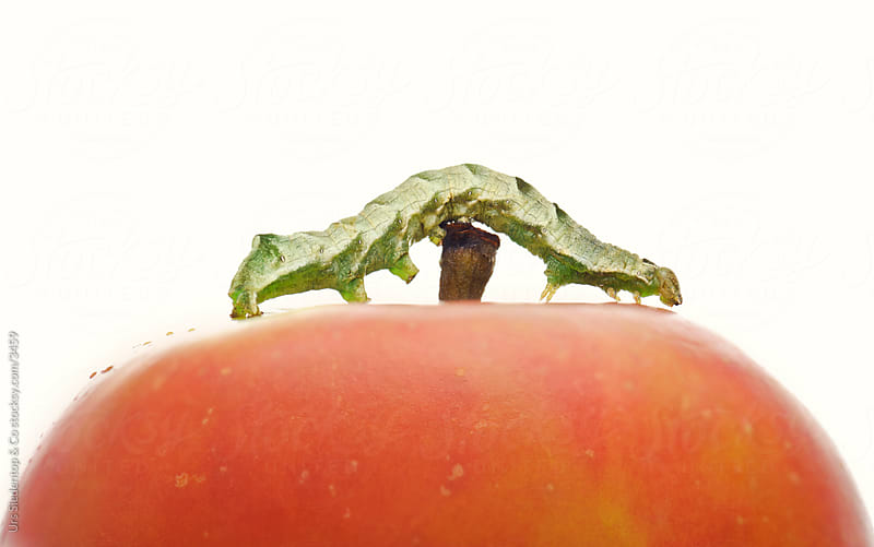 Caterpillar on Apple by Urs Siedentop & Co for Stocksy United