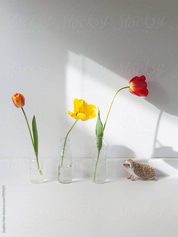 Hedgehog and tulips in the light by Sophia Hsin for Stocksy United