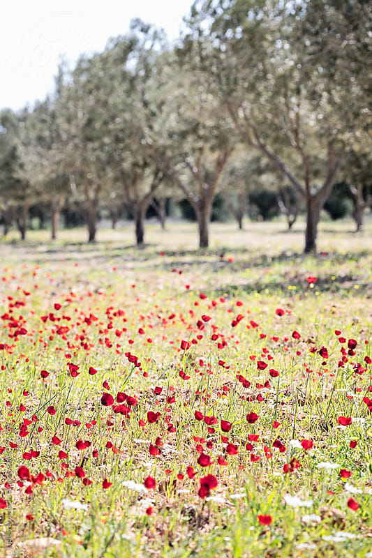 A Field of Wildflowers and Olive Trees by Helen Sotiriadis for Stocksy United