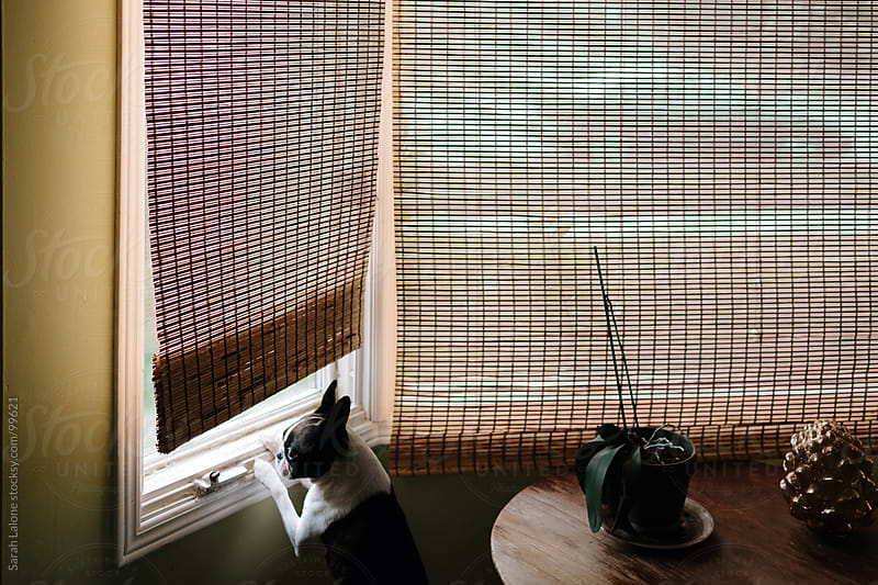 a boston terrier standing at the window looking out by Sarah Lalone for Stocksy United
