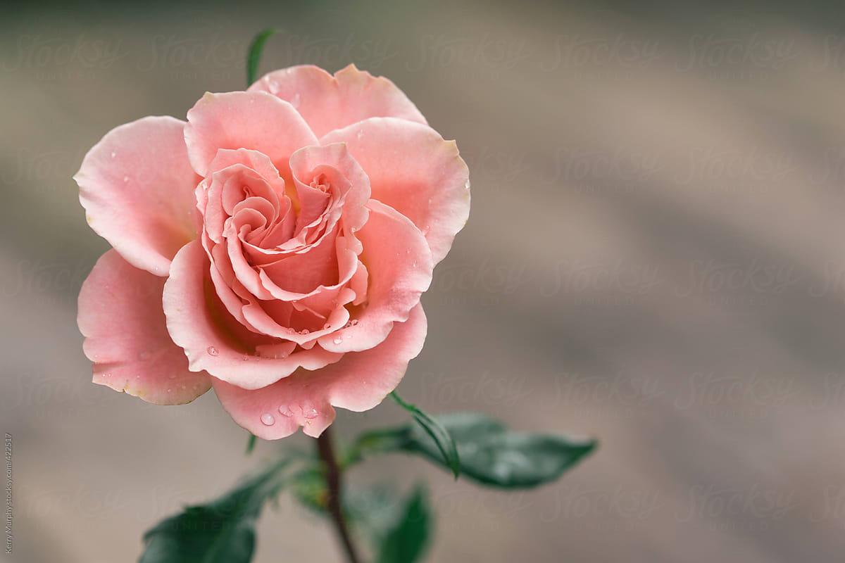 Closeup Of Single Pale Pink Rose Stocksy United