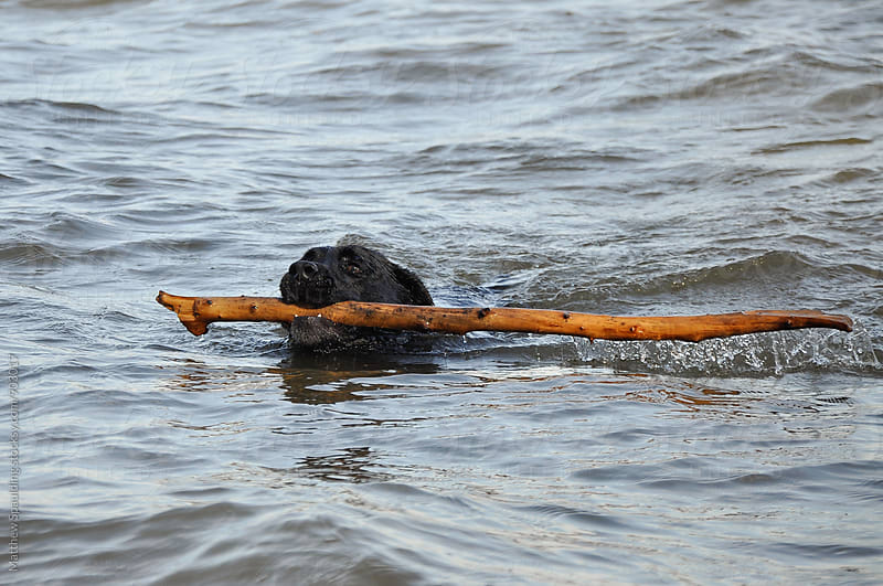 Pet dog retrieving stick in water by Matthew Spaulding for Stocksy United