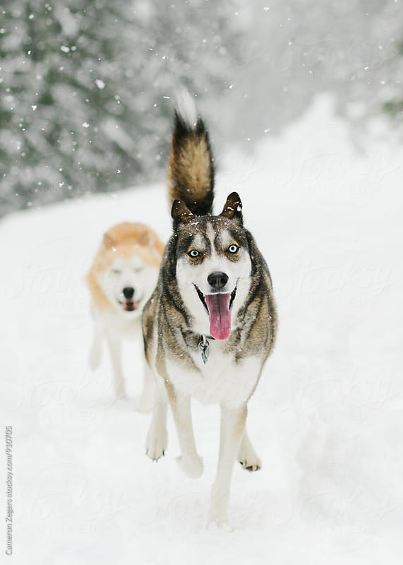huskies running in snow by Cameron Zegers for Stocksy United