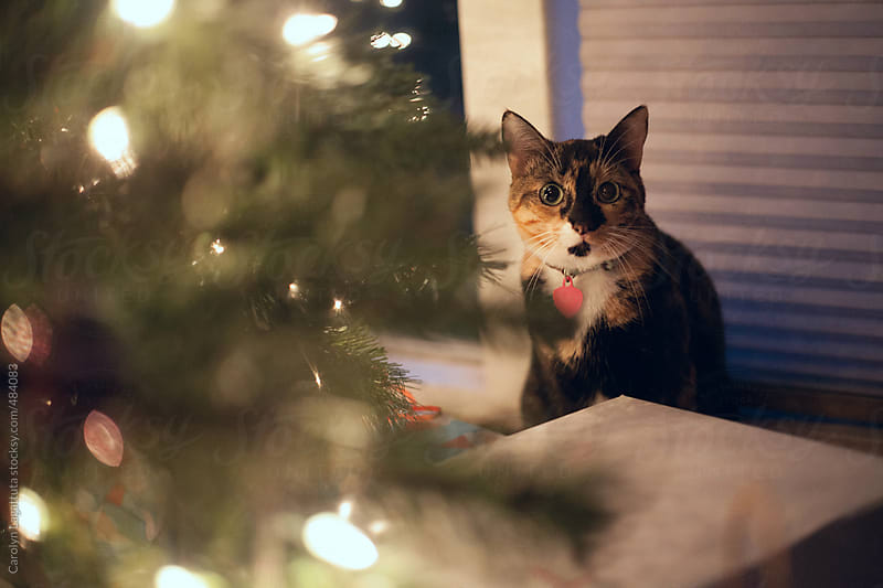 Wide eyed calico cat next to the Christmas tree by Carolyn Lagattuta for Stocksy United
