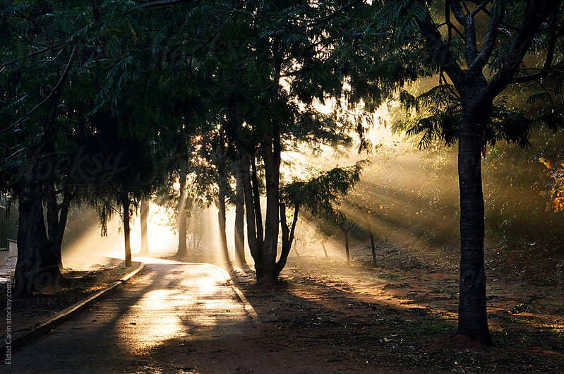 Misty Dawn Sunbeams at Mystic Grove Path by Eldad Carin for Stocksy United