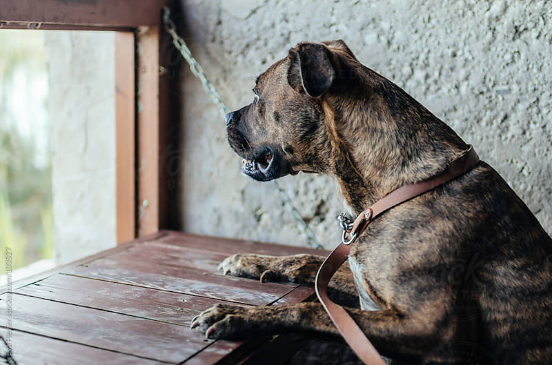 Dog looking out a window by Eva Plevier for Stocksy United